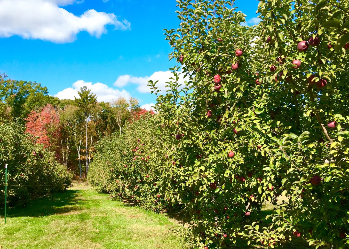 Apple Picking and Sangria (Recipe Included)